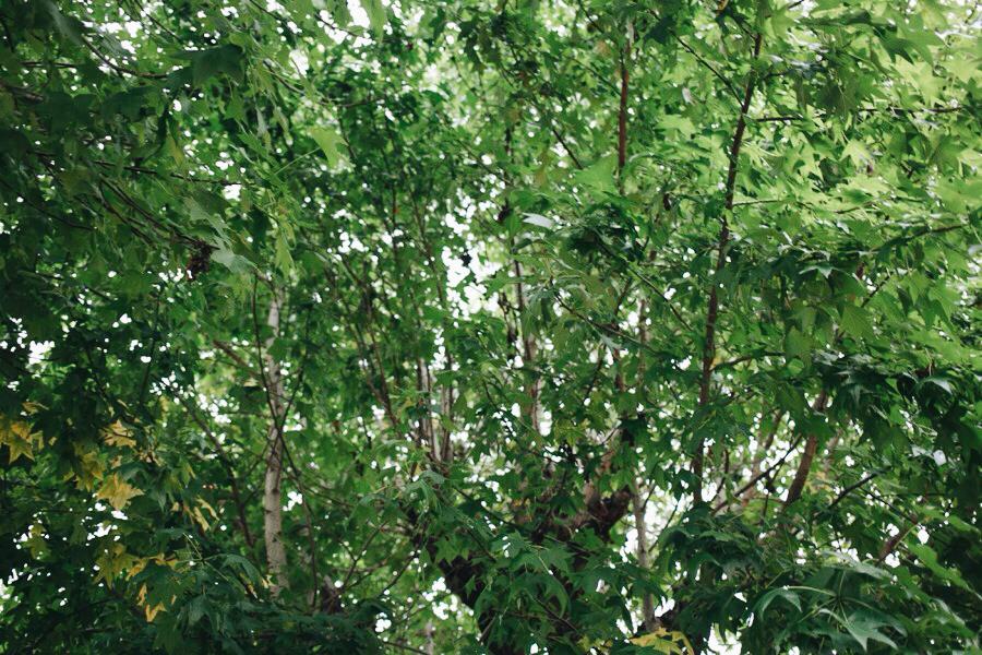 子どもたちを見守ってきた楓の木