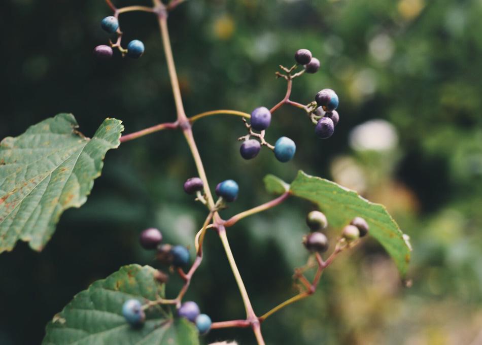 野葡萄による色彩論
